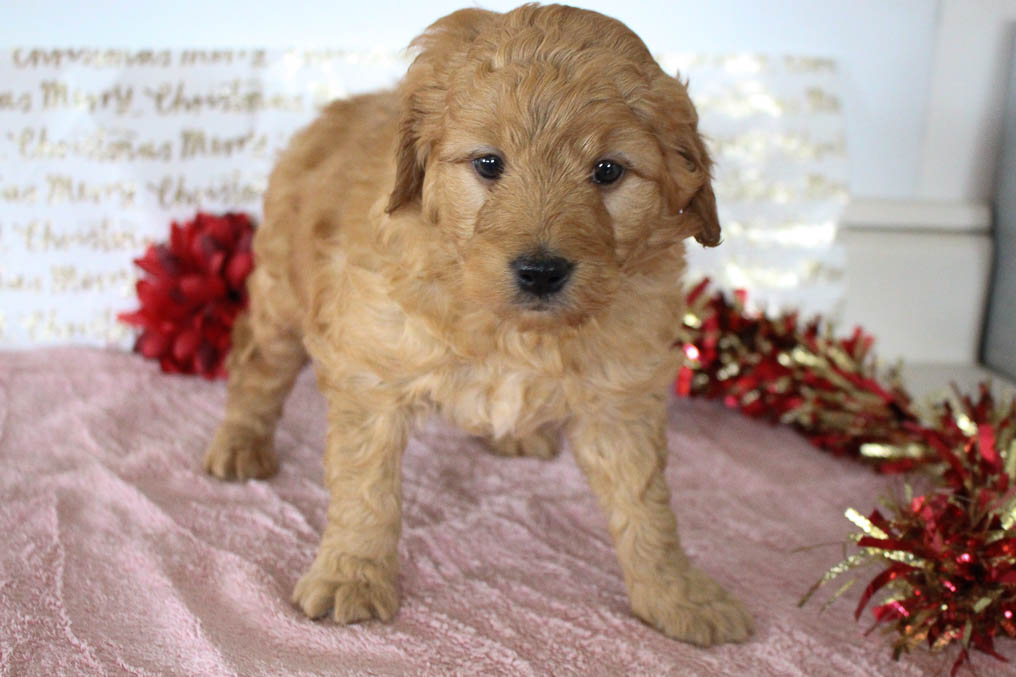 Alex - male Goldendoodle pupper for sale at Grabill, Indiana