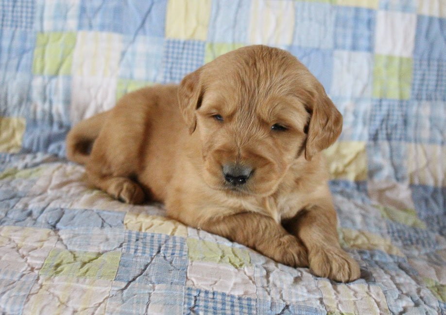 Bryce - AKC male Golden Retriever puppy for sale in Woodburn, Indiana