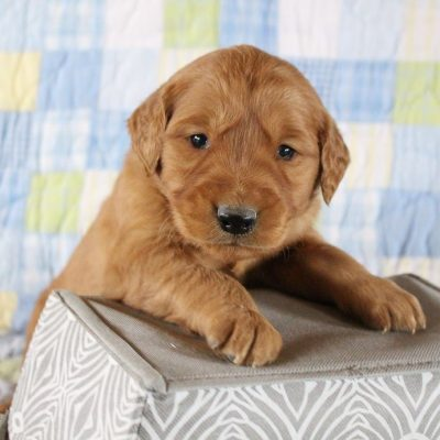 Pending- AKC Golden Retriever pupper for sale near Woodburn, Indiana