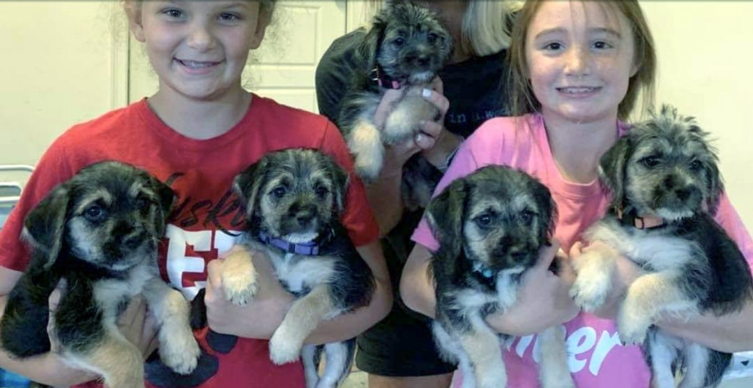 Sold Purple - Border Terrier/Havanese female puppy for sale in Birmingham, Alabama