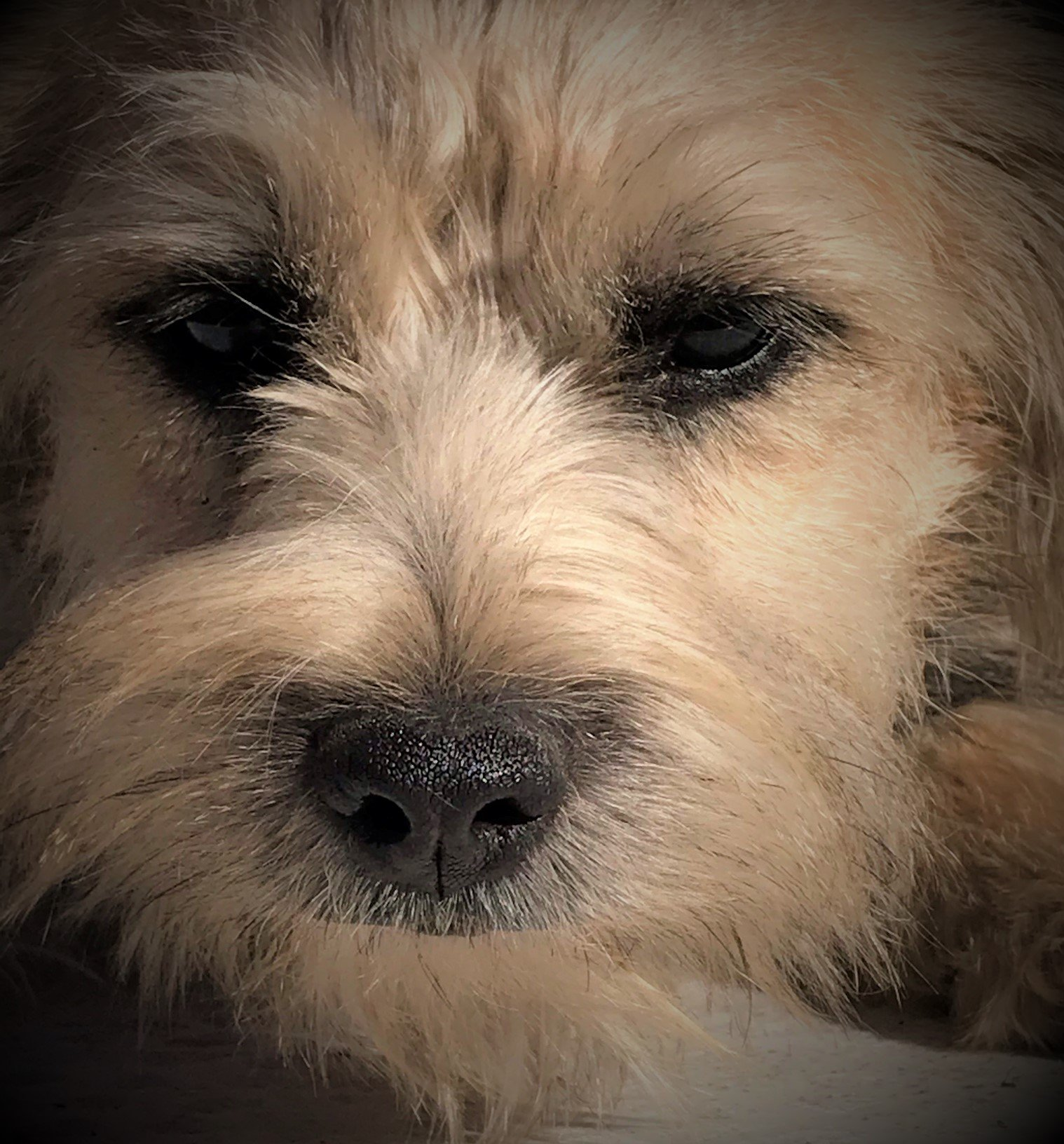 Sold Pink - Personality Plus - Border Terrier/Havanese female puppy