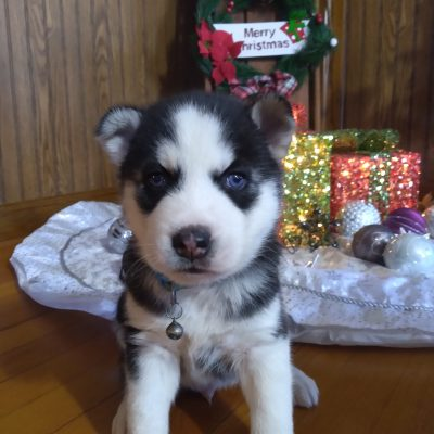 Zack - male ACA Siberian Husky puppy for sale in Grabill, Indiana