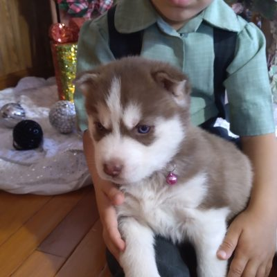 Stella - ACA Siberian Husky female doggie for sale in Grabill, Indiana (Copy)
