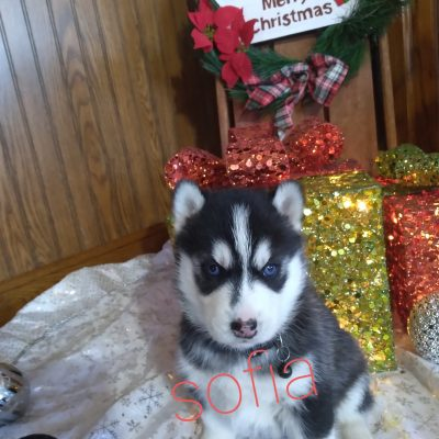 Sofia - female ACA Siberian Husky doggie for sale at Grabill, Indiana