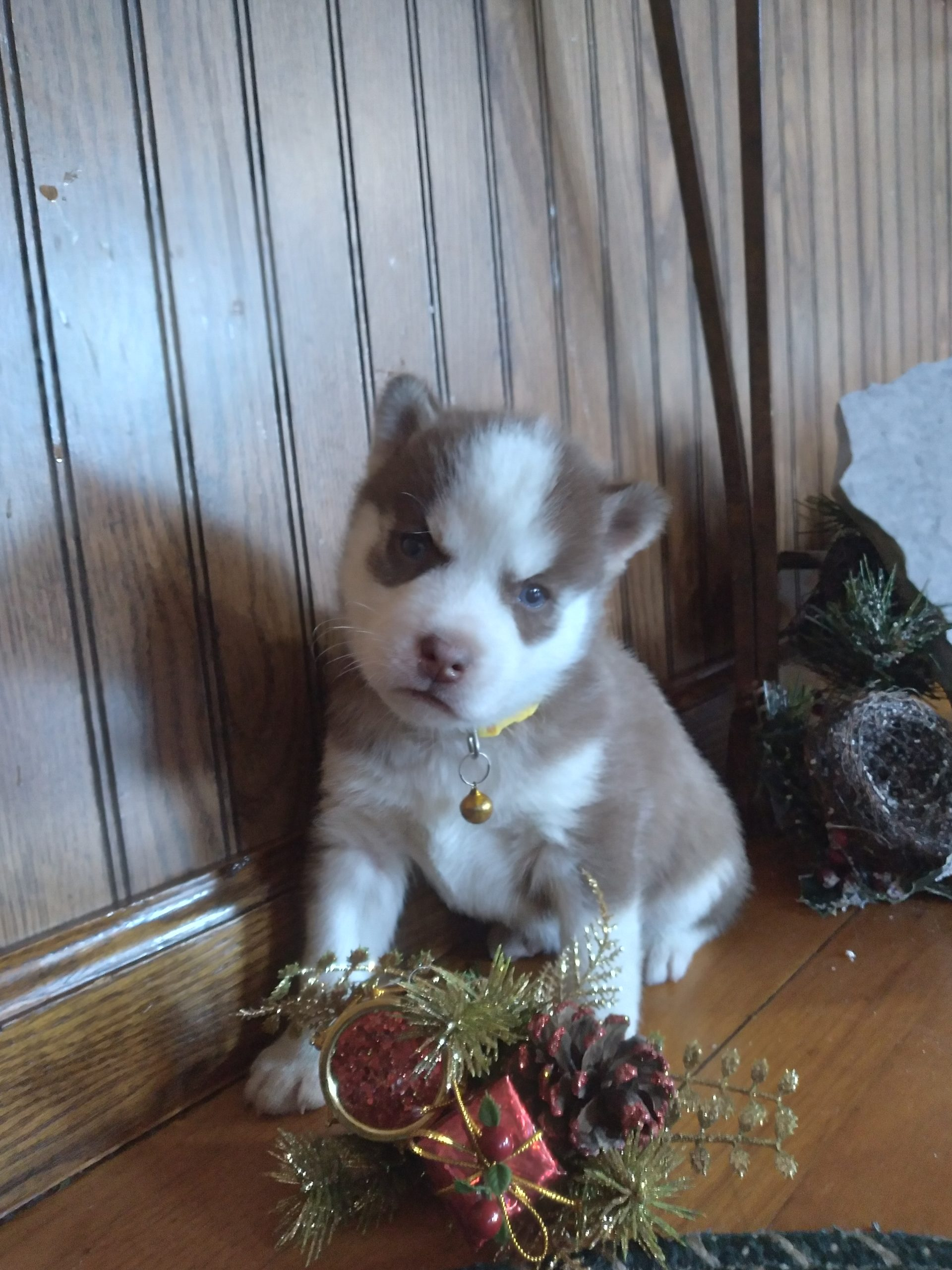 Puppies For Sale Near Me Find Your Puppy Vip Puppies