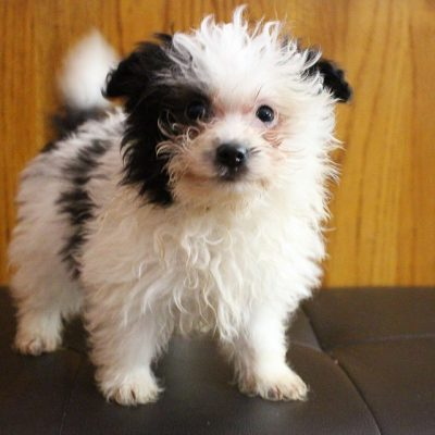 Stormy - Pomapoo doggie for sale in Grabill, Indiana