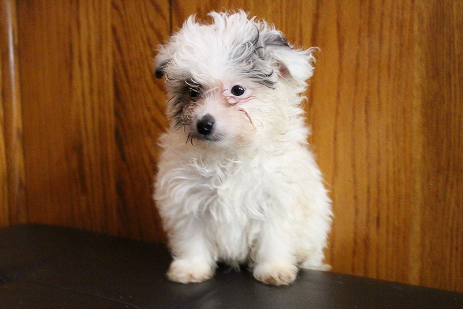 Cole - Pomapoo male pup for sale near Grabill, Indiana