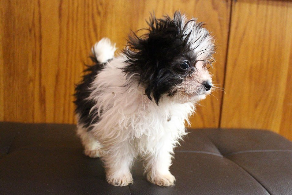 Buster - Pomapoo male pupper for sale in Grabill, Indiana