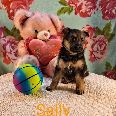 Sally - puppy AKC German Shepherd for sale at Grabill, Indiana