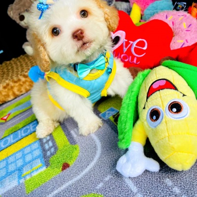 BabyCupid - Adorable Teddy Bear face male maltipoo with green eyes
