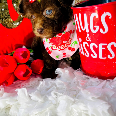 BabyJuliet - female CKC Maltipoo puppie for sale at Houston, Texas