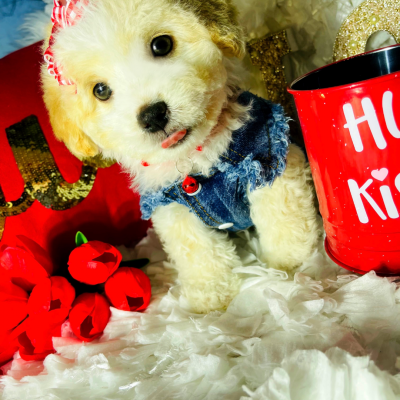 BabyPrince - CKC Maltipoo doggie for sale near Houston, Texas