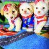 LoveBear - Gorgeous green eyed male Teddy Bear Face Maltipoo puppy