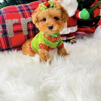 TinyGinger - CKC Maltipoo male puppie for sale at Houston, Texas
