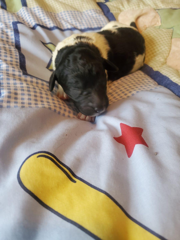 Carly - CKC F1b Labradoodle pup for sale at Alton, Missouri