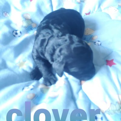 Clover - CKC F1b Labradoodle puppy for sale in Alton, Missouri