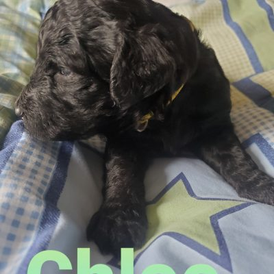 Chloe - CKC F1b Labradoodle pupper for sale near Alton, Missouri
