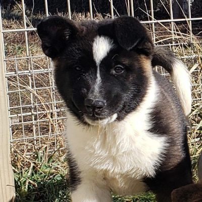 JR - ACA American Akita male pupper for sale in Union City