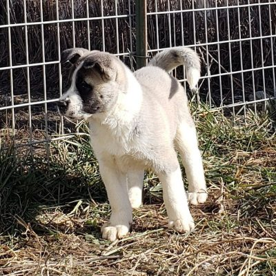 Eli - American Akita for sale at Union City, Ohio