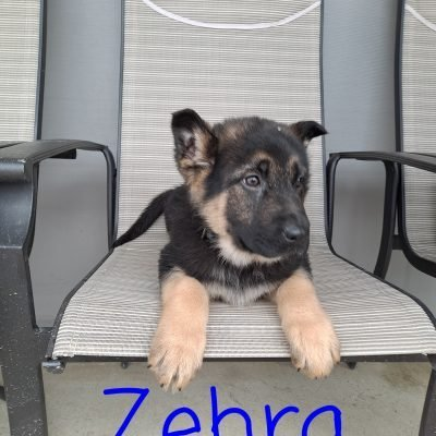 Zehra - female AKC German Shepherd pupper for sale near New Haven, Indiana