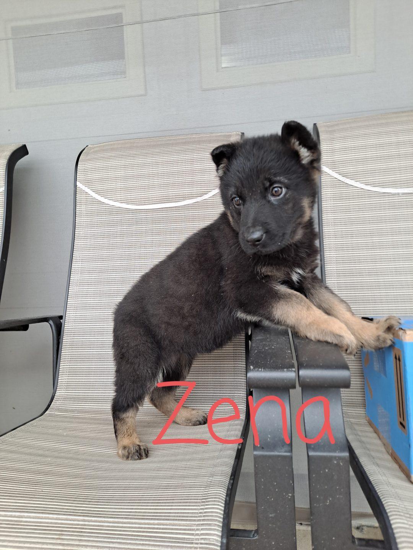 Zena - AKC German Shepherd doggie for sale at New Haven, Indiana
