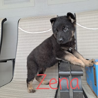 Zena - AKC German Shepherd doggie for sale at New Haven, Indiana