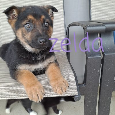 Zelda - AKC German Shepherd femal puppie for sale in New Haven, Indiana