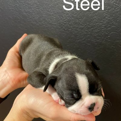 Steel - male AKC Boston Terrier puppie for sale in Middlebury, Indiana