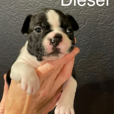 Diesel - AKC Boston Terrier doggie for sale in Middlebury, Indiana