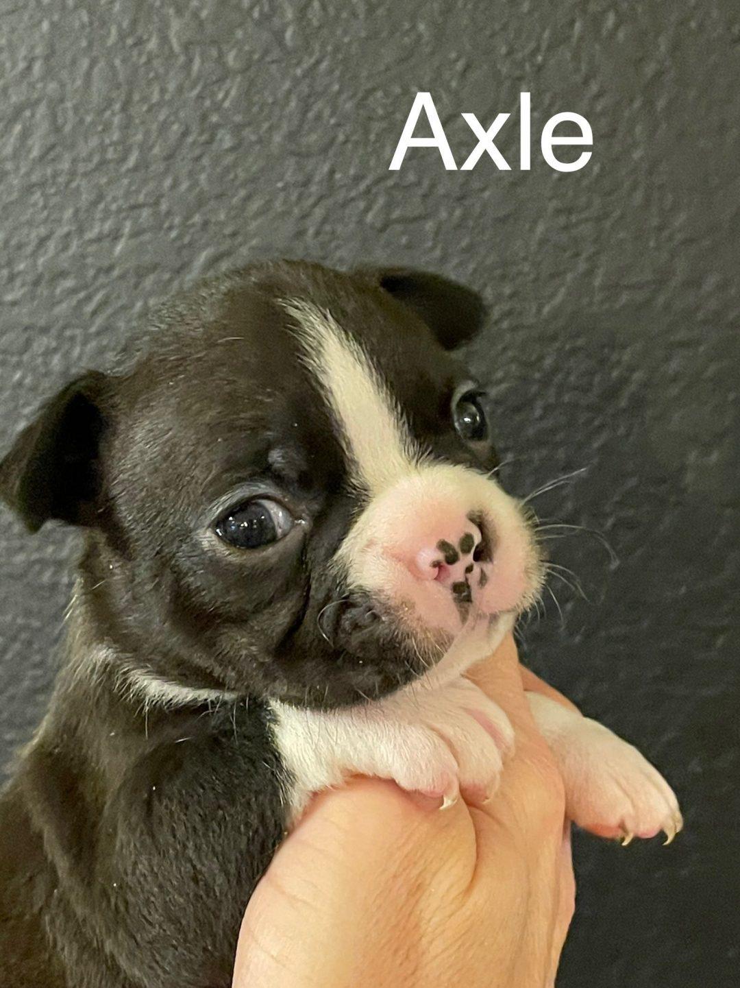 AKC Boston Terrier
