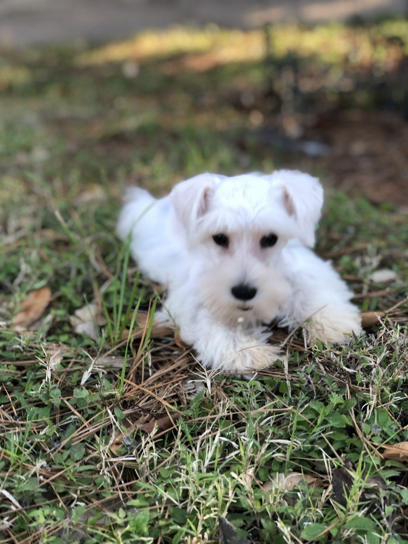 """LIZZIE"" - female AKC Miniature Schnauzer pup for sale at Houston, Texas"