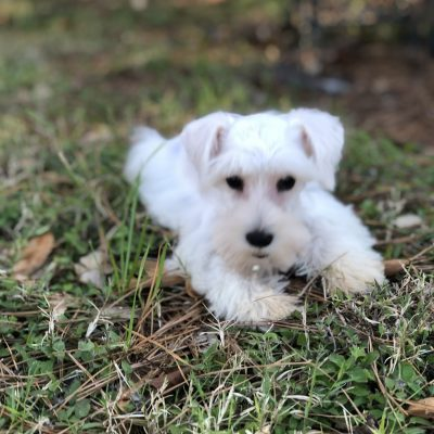 """LIZZIE"" - female AKC Miniature Schnauzer pup for sale at Houston, Texas"