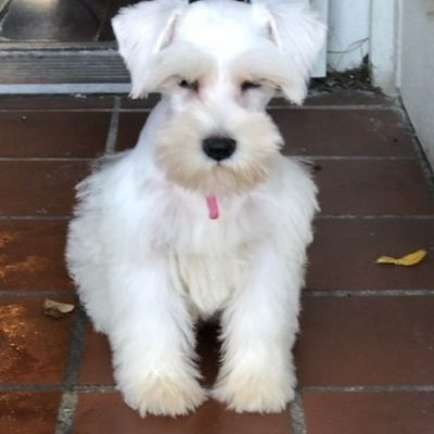 """BELLA"" - female AKC Miniature Schnauzer doggie for sale near Houston, Texas"