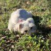 """BELLA"" - female AKC Miniature Schnauzer doggie for sale near Houston, Texas"