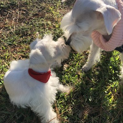 """ANNIE"" - AKC Miniature Schnauzer puppy for sale in Houston, Texas"