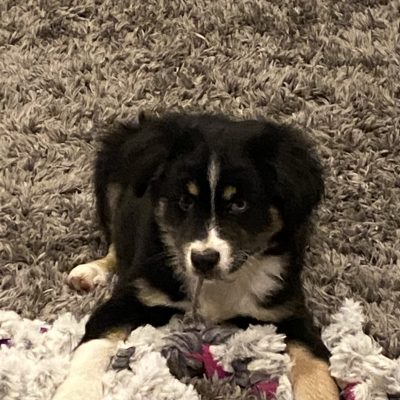 Cougar - Toy Australian Shepherd puppy for sale in Utica, Kentucky