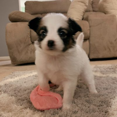 Phoebe - female Papillon puppy for sale near Fishers, Indiana