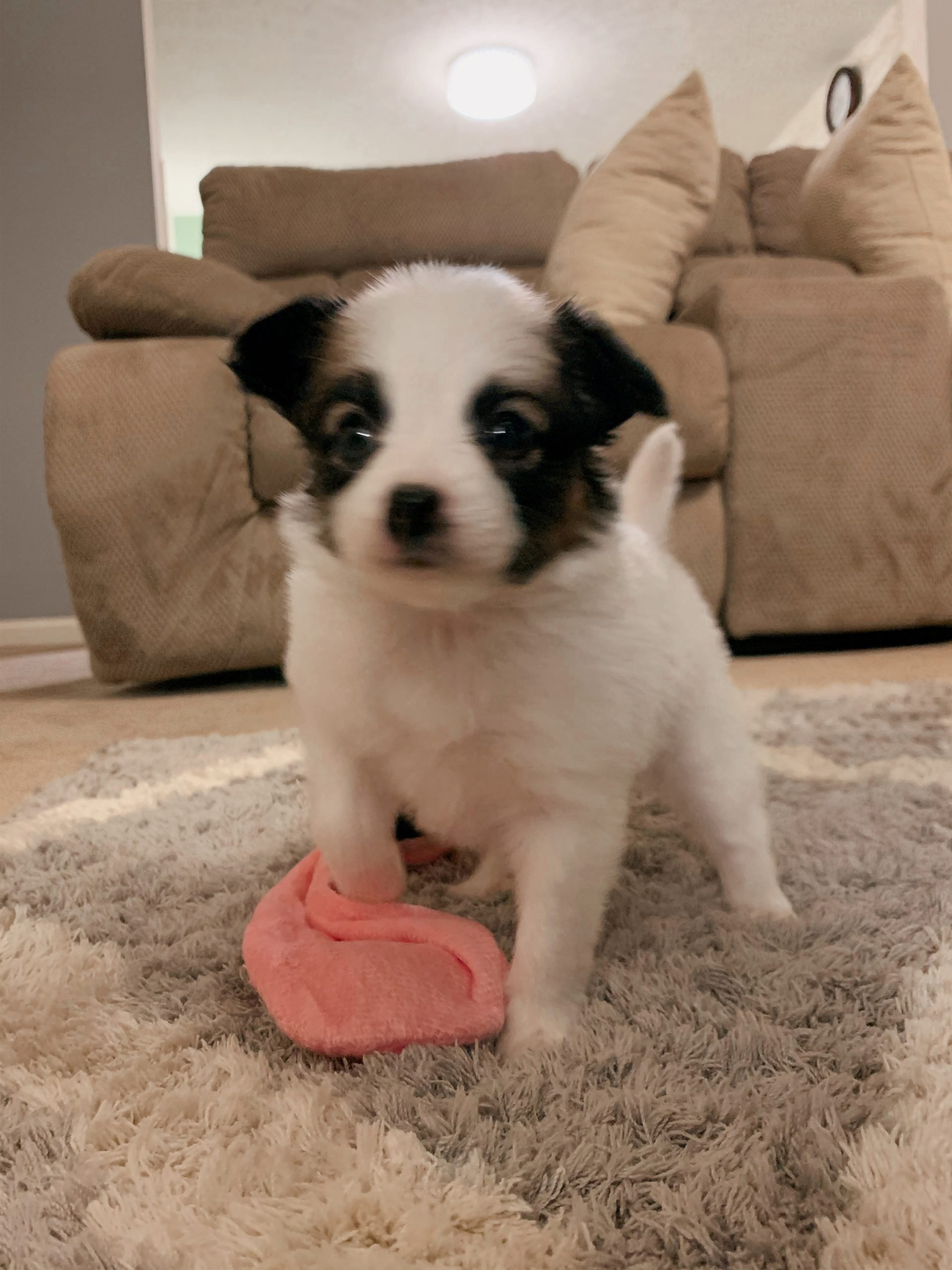 Phoebe - Female Papillon Puppy