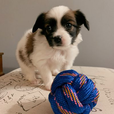 Athena - Papillon female puppie for sale in Fishers, Indiana
