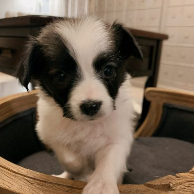 Felix - male Papillon pupper for sale near Fishers, Indiana