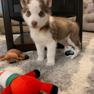 Sam - Siberian Husky pupper for sale near Fishers, Indiana (Copy)