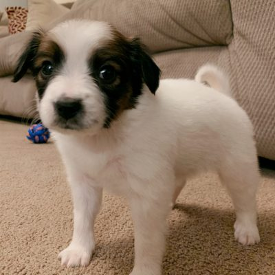 Allie - pup Papillon for sale at Fishers, Indiana