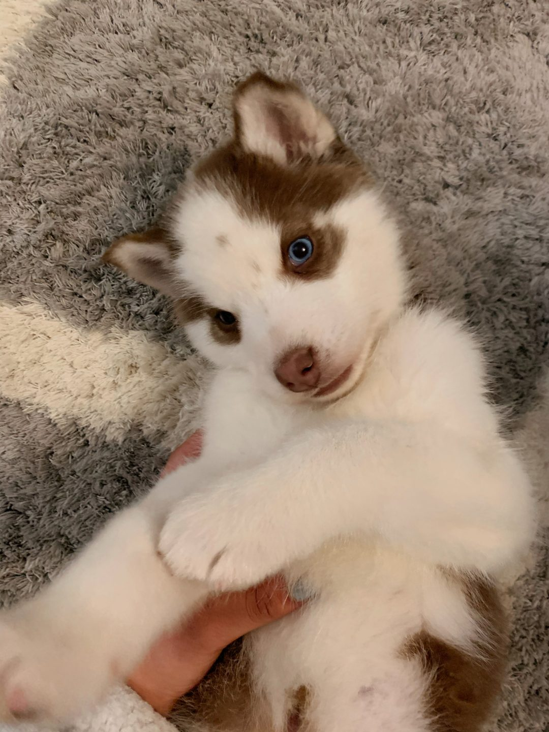 Sam - Siberian Husky pupper for sale near Fishers, Indiana