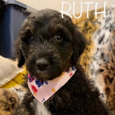 Ruth - Pyre-doodle female puppy for sale in Troup, Texas