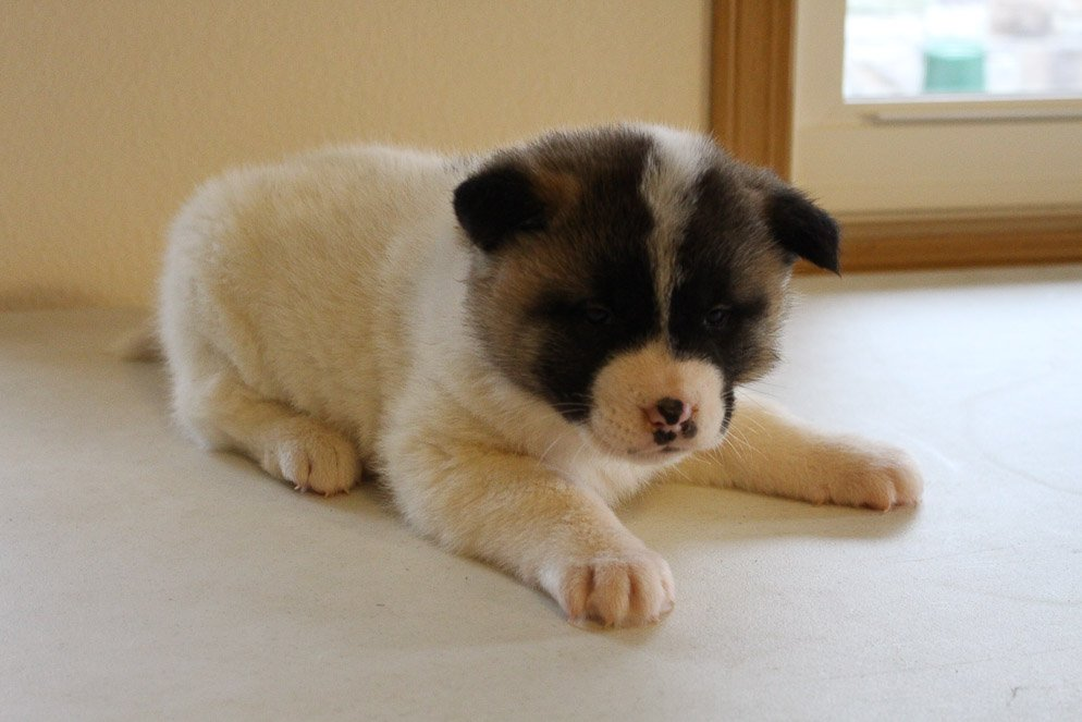 Diann - pup AKC Akita for sale in New Haven, Indiana