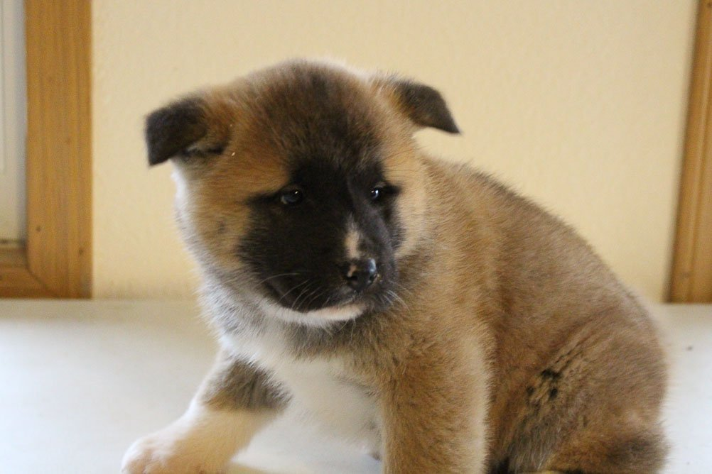 Dane - AKC Akita male pupper for sale at New Haven, Indiana