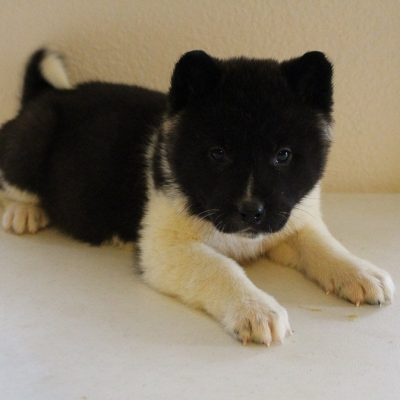Dorcas - AKC Akita female puppie for sale near New Haven, Indiana