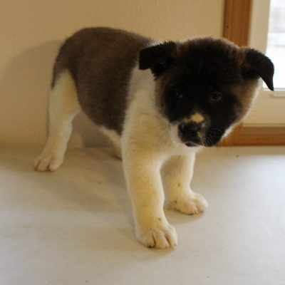 Dan - male AKC Akita doggie for sale in New Haven, Indiana