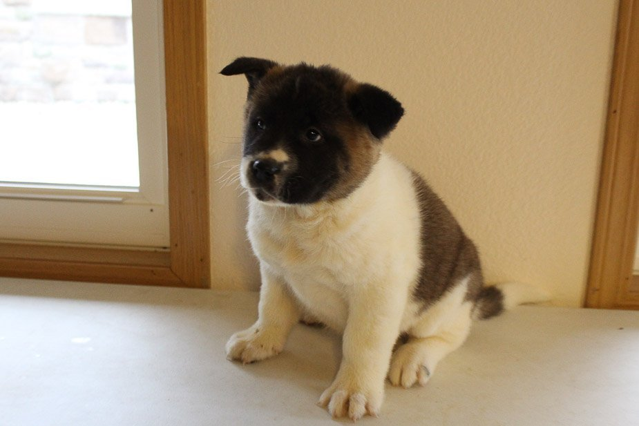 Dan - male AKC Akita doggie for sale in New Haven, Indiana