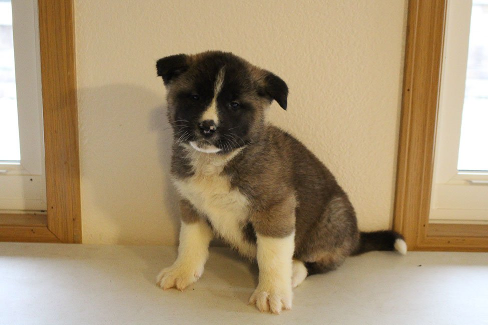 Davy - AKC Akita puppy for sale at New Haven, Indiana